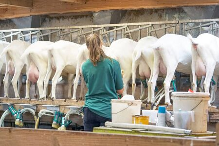 A woman farmer prepares electric milk equipment for milking goats. Bony udders and hooves of visas from behind. Rear view of white goats, in a mechanized milking parlor.