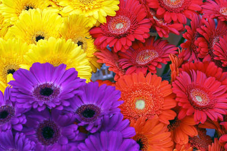 Gerbera flowers background. Background from Gerbera flower. Blooming yellow, purple and red gerbera flowers background, autumn floral card