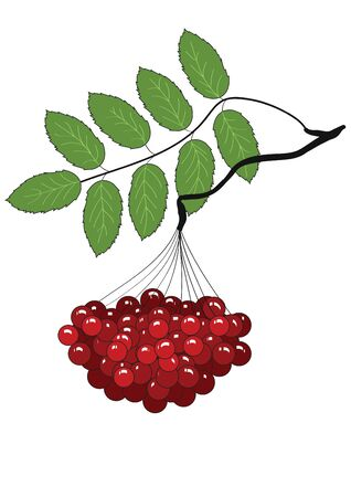 The branch of ripe Rowan with a sheet without background Illustration