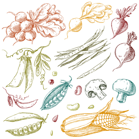 Set of hand drawn vegetables. Corn, peas, beans, beets, radishes and mushrooms. Isolated