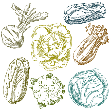 Set of hand drawn vegetables. Cabbage, cauliflower, Chinese cabbage, kohlrabi. Isolated