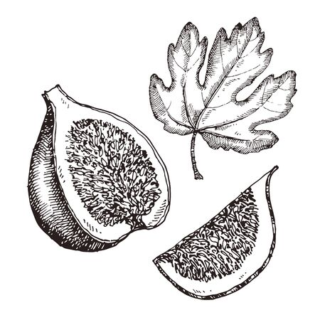 Figs. Hand drawn vector sketch isolated on white Ilustrace