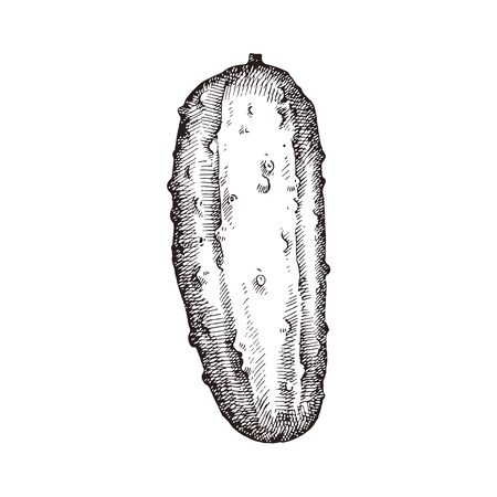 Hand drawn cucumber vector illustration isolated on white