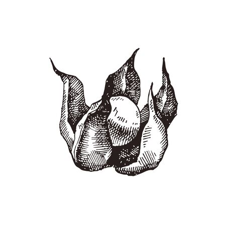Physalis hand drawn vector illustration Illustration