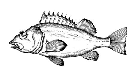 Sea bass. Hand drawn fish isolated on white. Vector illustration.