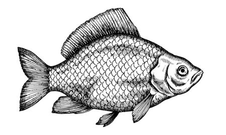 Crucian carp. Hand drawn fish isolated on white. Vector illustration.