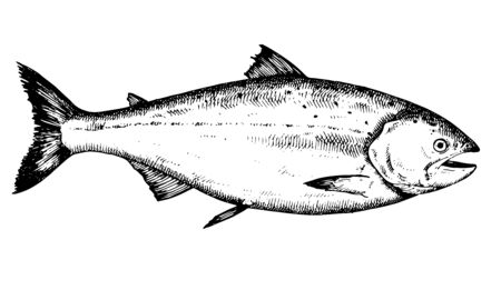 Trout. Hand drawn fish isolated on white. Vector illustration. Illustration