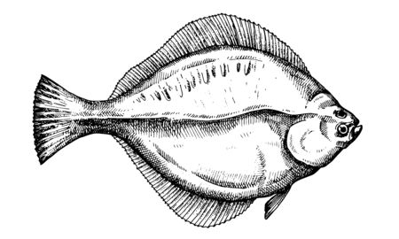 Flounder. Hand drawn fish isolated on white. Vector illustration.