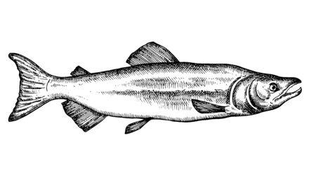 Hand drawn fish isolated on white. Salmon. Vector illustration. Vektorové ilustrace