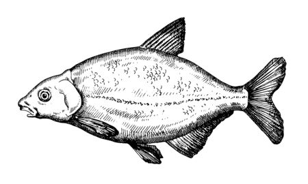 Bream. Hand drawn fish isolated on white. Vector illustration.