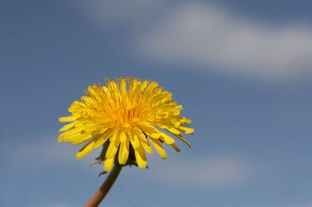 Yellow dandelion on the dark blue sky  background photo