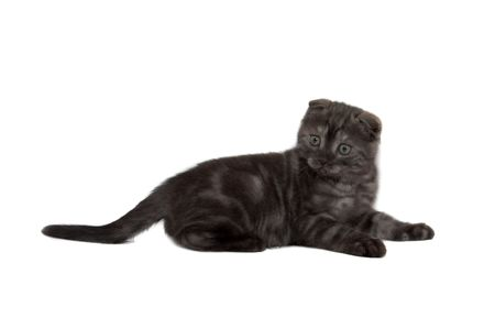 attention grabbing: Scottish Fold Cats Plays on a white background