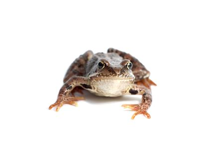 bore: One frog on a white background Stock Photo