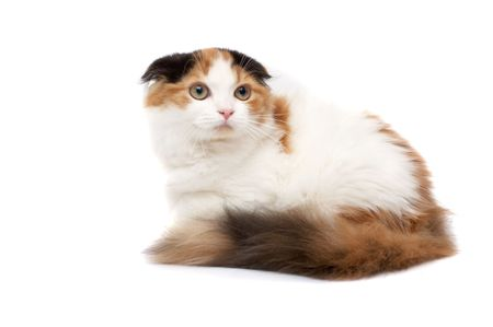 grey haired: Scottish Fold Cats on a white background