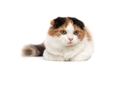 attention grabbing: Scottish Fold Cats on a white background