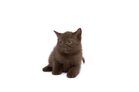 scottish straight: Scottish Straight Cats Plays on a white background