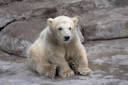 wet bear: The small polar bear sits on stones Stock Photo