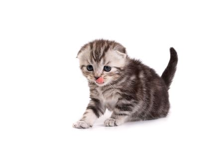 Scottish fold kitten on white background Stock Photo - 3908145