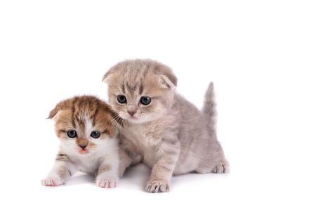 Scottish fold kittens on white background Stock Photo - 3908137