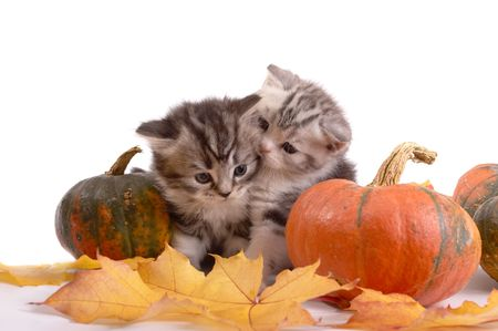 grey cat: Two kittens and pumpkins on a white background Stock Photo