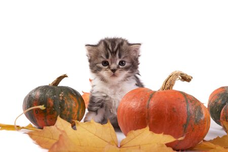 Kitten and pumpkins on a white background photo