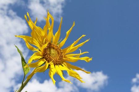 The Sunflower on a sky background photo