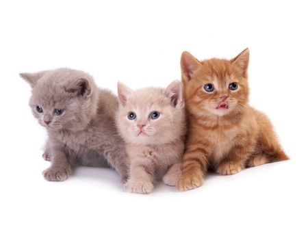scottish straight: Three kittens on a white background Stock Photo