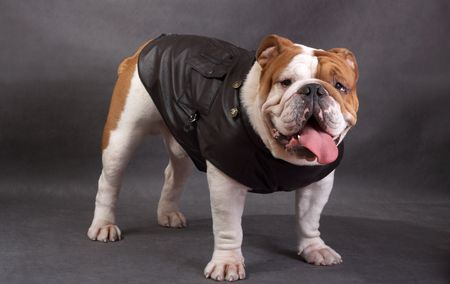 The English bulldog on a color background photo