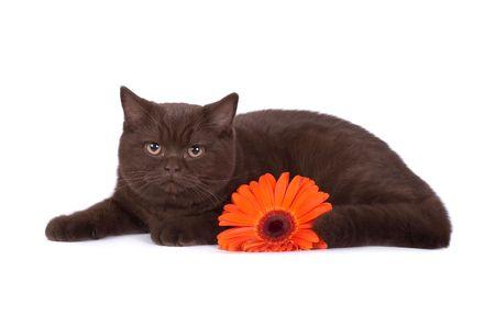 The British chocolate cat photo