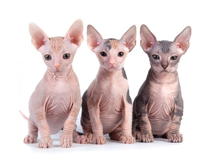 meow: Sphynx kittens with white background