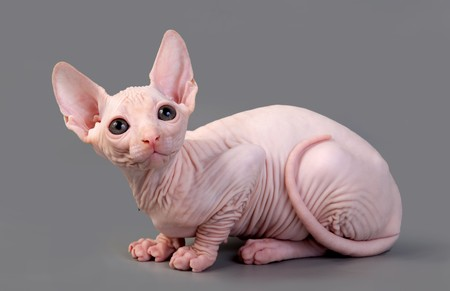 hairless: The Canadian sphynx on a white background Stock Photo