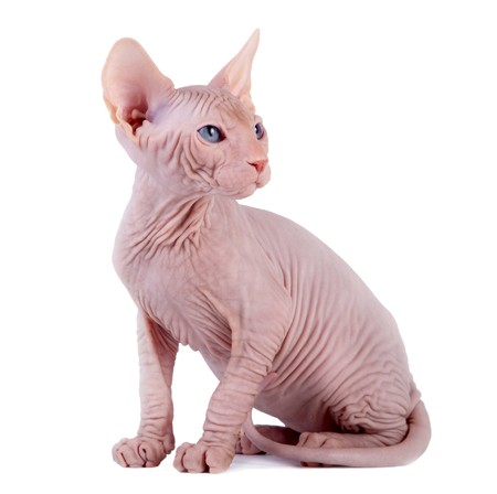 kitten small white: The Canadian sphynx