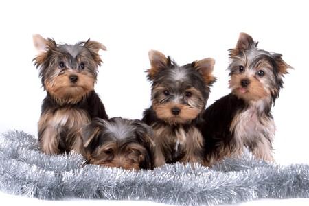 Yorkshire terrier photo