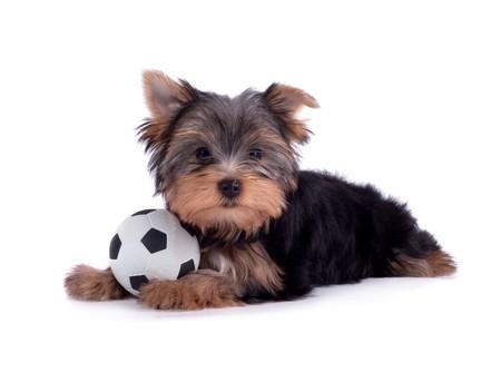 yorkshire terrier: Yorkshire terrier Stock Photo