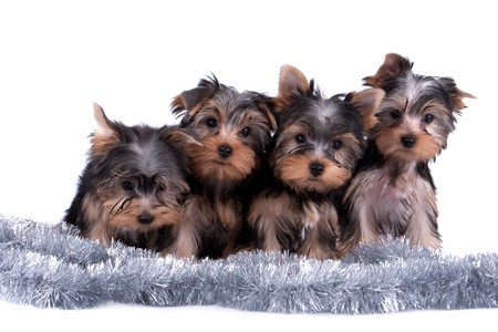 The Yorkshire terrier puppy on white background photo
