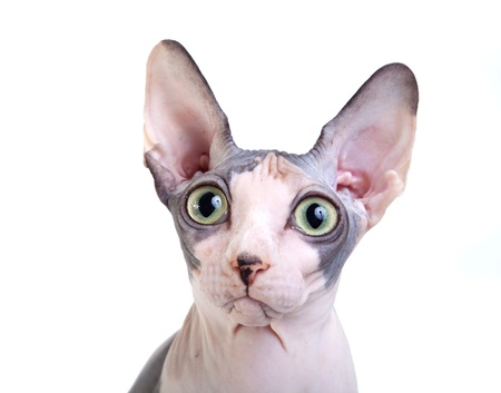 Canadian sphynx on the white background Stock Photo - 16403309