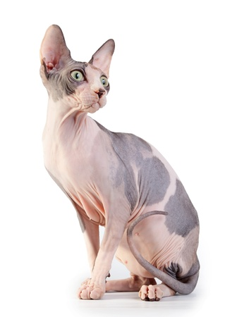 Canadian sphynx on the white background photo