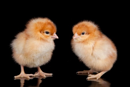 baby chick: The Yellow chick on the black background