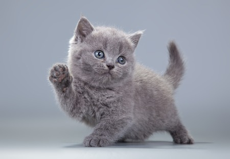 cute kittens: blue British kitten on a gray background with a raised paw