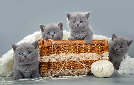 kitten: The British kitten with a ball of wool in basket