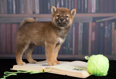 dog Shiba Inu reading books Stock Photo