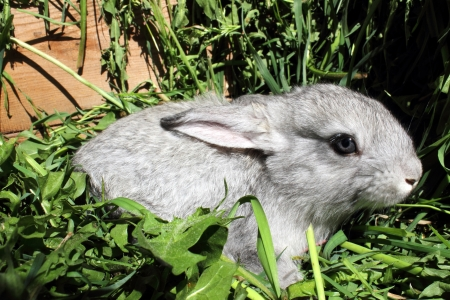 rabbit cage: Un coniglio grigio che si siede sul prato in una gabbia di legno