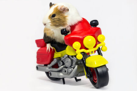 A Guinea pig is sitting on a toy motorcycle
