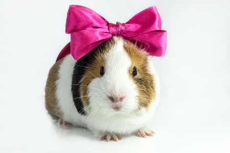 Guinea pig with a bow on his head on a white Stock Photo