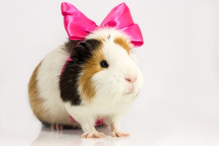 Guinea pig with a pink bow on a white  photo