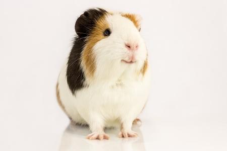 Guinea pig smiles , sitting on a white  photo