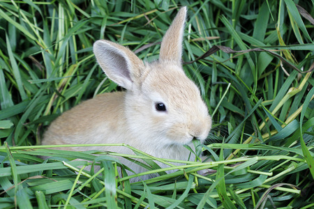 blade cut: Red rabbit with a blade of grass in the mouth sits on freshly cut grass .