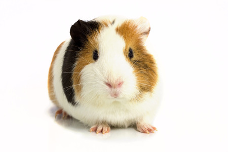 Three color Guinea pig sits on a white background .