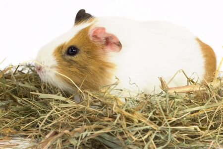 On dry grass sits Guinea pig isolated white background . Фото со стока