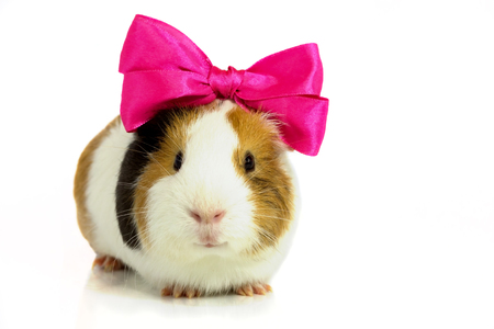 Rodent with a pink bow on her head , on a white background .